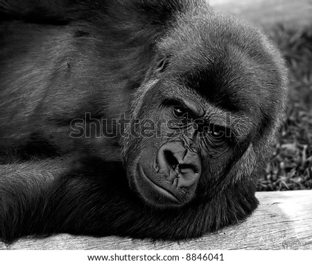 Gorilla laying on a tree log, looking at the camera