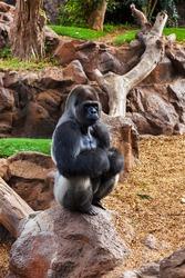 Gorilla monkey in park at Tenerife Canary - animal background