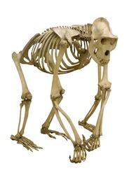 gorilla skeleton isolated on white background