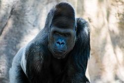 Gorilla staring into the camera
