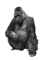 Gorilla, the family of primates on white isolated background