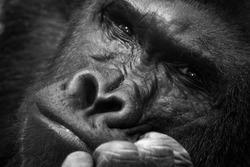 Gorilla thinking portrait