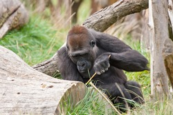 gorilla using branch as a tool