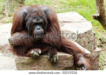 gorilla wallpaper tropical animal ape endangered intimidating lowland monkey mountain portrait primate stare wildlife zoo  jungle mammal