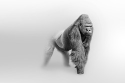 Gorilla wildlife art collection white edition, animal grayscale wallpaper