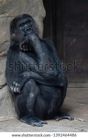 gorilla with a very sad facial expression  #1392464486