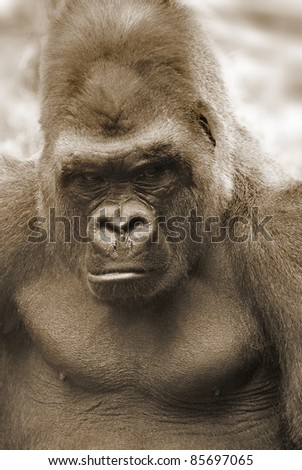 Gorillas are the largest extant species of primates. They are ground-dwelling, predominantly herbivorous apes that inhabit the forests of central Africa. Gorillas are divided into two species.