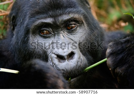 Gorillas are the largest of the living primates. They are ground-dwelling and predominantly herbivorous. They inhabit the forests of central Africa. / Gorilla eating.