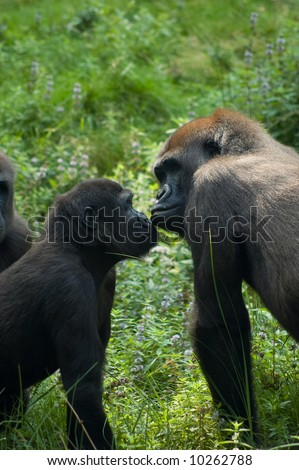 gorillas in love and kissing
