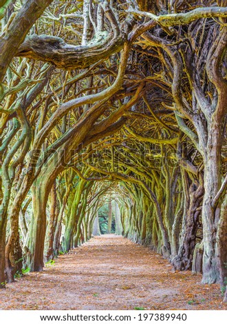 GORMANSTON, IRELAND - SEPTEMBER 29, 2013: Tunnel of Yew trees also called a yew walk. Taxus baccata is a conifer native to western, central and southern Europe.