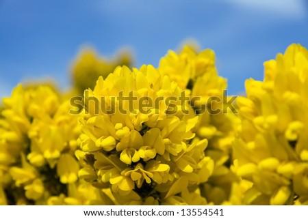 Gorse flower in bloom in the Scottish Highlands