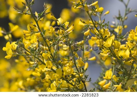 gorse in the mediterranean macchia - shallow DOF - french riviera