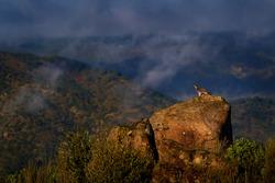 Goshawk, Accipiter gentilis, bird sitting on the moss stone in the nature habitat. Hawk in mountain Sierra de Andujar in Spain, Europe. Wildlife scene from nature. foggy landscape with wild bird.