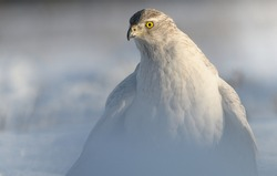 Goshawk portrait raptor Accipiter gentilis