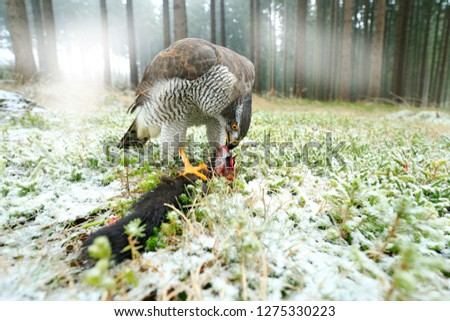 Goshawk with killed black squirrel in forest with winter snow - photo with wide angle lens. Wildlife scene in nature habitat. Forest with Bird of prey. Animal behaviour, wildlife scene from nature.