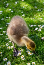 gosling is eating the grass