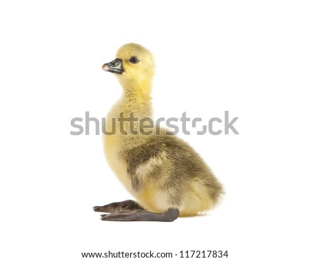 gosling isolated on a white background