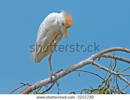 Got an itch? - Cattle Egret perched on branch