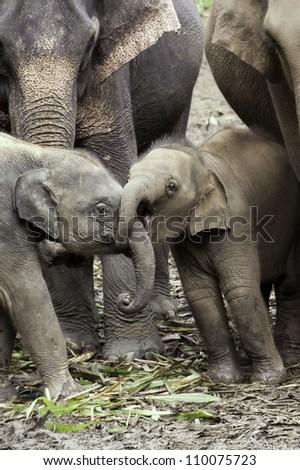Gotcha!  Baby Asian elephants (Elephas maximus) wrestle with their trunks.