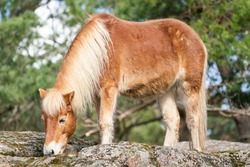 Gotland Horse in nature, an old Swedish pony breed almost wild horse, belong to the only semi-feral breed in Sweden.