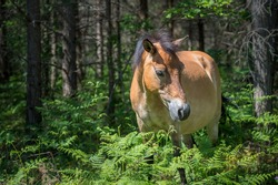 Gotland pony strolling in the forest at Lojsta heath. These horses, also called Gotland russ, belong to the only semi-feral breed in Sweden.