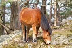 Gotland russ or Gotland pony Horse is an old Swedish pony breed.