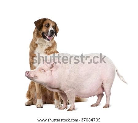 Gottingen minipig and dog standing in front of white background, studio shot