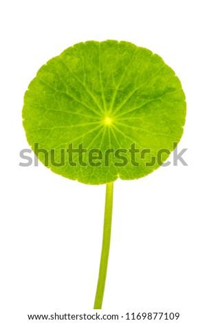 Gotu Kola, Centella Asiatica, Asiatic Pennywort, Hydrocotyle, Tiger Herbal, Indian pennywort (Apiaceae, Umbelliferae) isolated on white background with clipping path