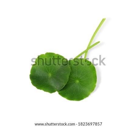 Gotu kola,  Centella asiatica, Close up green leaves of Gotu kola tree isolated on white background. with clipping path  Zdjęcia stock ©
