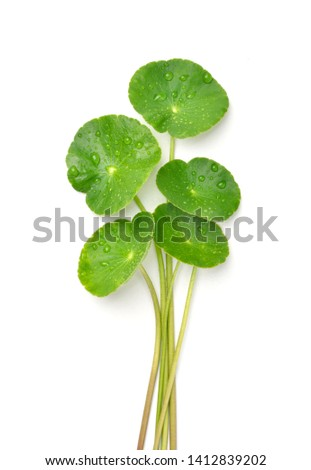 Gotu kola (Centella asiatica) leaves with water drops isolated on white background. (Asiatic pennywort, Indian pennywort) Zdjęcia stock ©