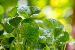Gotu kola , Centella asiatica, trees and green leaves on a natural background.
