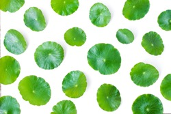 Gotu Kola leaves ( Asiatic pennywort, Indian pennywort, Centella asiatica ) isolated on white background . Top view. Tropical medical herbal plant concept.