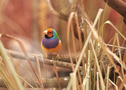 Gouldian Finch colorful bird on tree