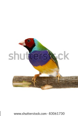 Gouldian Finch - Erythrura gouldiae in front of a white background
