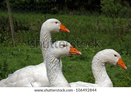 goup of withe Geese on green grass