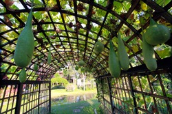 Gourds, melons and other vegetable plants grow on vegetable sheds made of wood and bamboo, and the arched design and lines form an abstract geometric perspective.