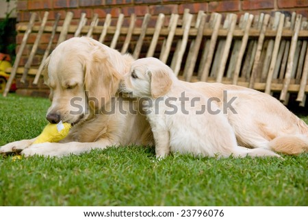 golden retriever dogs puppies. Golden Retriever bitch dog