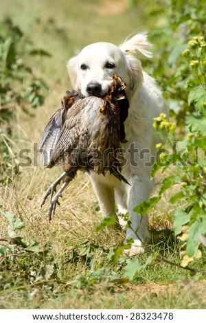 GR Golden Retriever competing in field trial competition