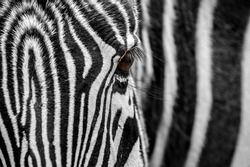 Grévy's zebra / imperial zebra (Equus grevyi) native to Kenya and Ethiopia, close up of balck and white striped head and eye
