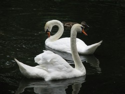 Grace and splendor in every movement of the white swans