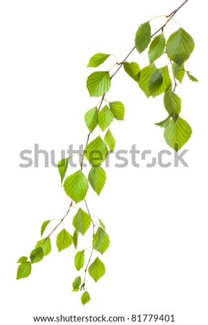 Graceful birch twig in backlight. Isolated on white