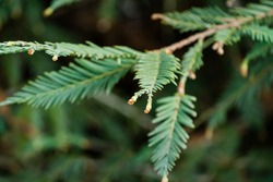 Graceful branch with foliage on blurred background. Close-up selective focus of evergreen Sequoia sempervirens (Coast Redwood Tree) in spring Arboretum Park Southern Cultures in Sirius (Adler) Sochi