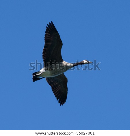 graceful canada goose with wings spread in flight against deep blue sky