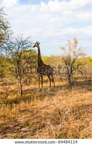 Graceful giraffe eating branch of the tree in national Kruger Park in South Africa.
