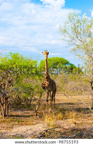 Graceful giraffe eating branch of the tree in national Kruger Park in South Africa - stock photo