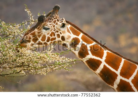 Graceful giraffe eating branch of the tree , Samburu, Kenya