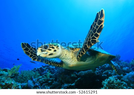 Graceful Hawksbill Turtle fins over a coral reef