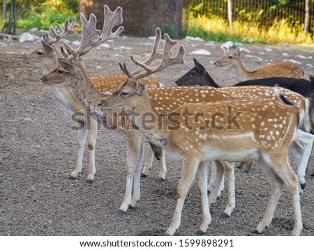 Graceful males of European fallow deer are waiting for treats from visitors of a deer nursery