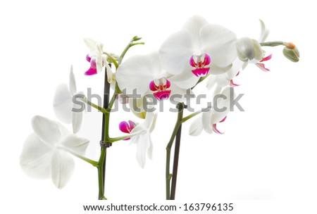 graceful pink and white orchid on white background