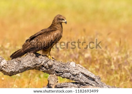 Graceful raptor Black kite (Milvus migrans) from region Castilla-La Mancha in Spain. \nMagnificent wild bird of prey sitting on the branch in nature habitat with blurred yellow-greenish background.